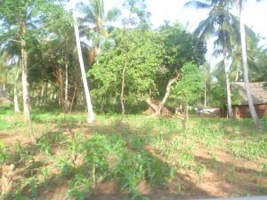134 Mango-Termiten-Dorf